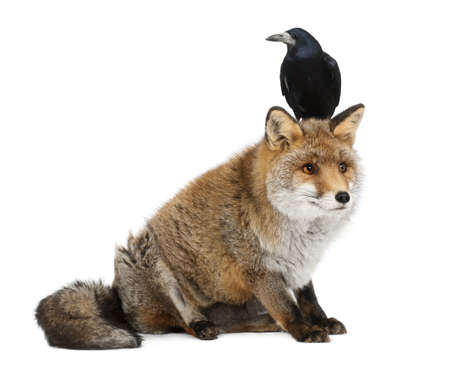 frugilegus: Old Red fox, Vulpes vulpes, 15 years old, and Rook, Corvus frugilegus, 3 years old, sitting against white background Stock Photo