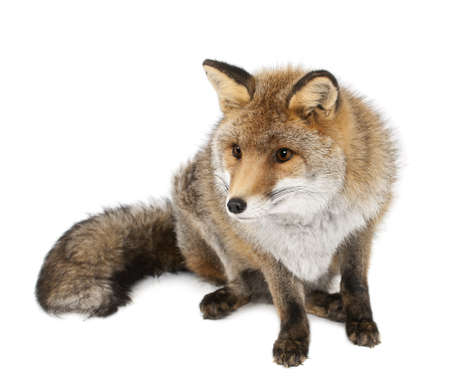 zorro: Viejo zorro rojo, Vulpes vulpes, de 15 a�os, sentado contra el fondo blanco