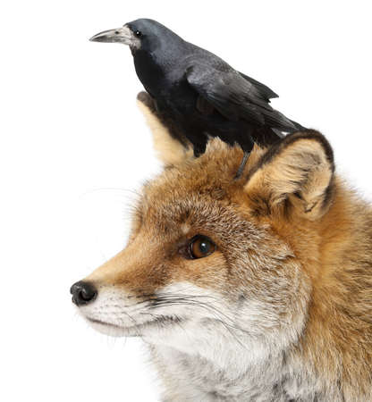 frugilegus: Old Red fox, Vulpes vulpes, 15 years old, and Rook, Corvus frugilegus, 3 years old, against white background