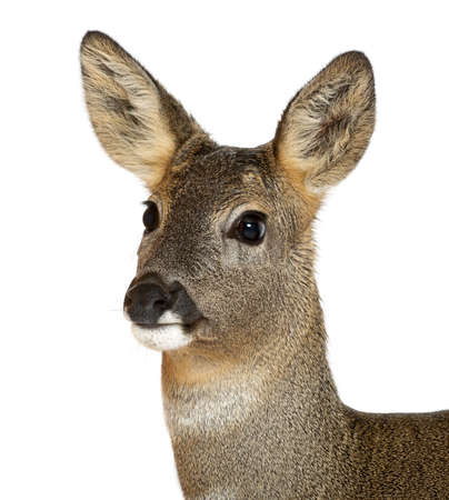 doe: European Roe Deer, Capreolus capreolus, 3 years old, against white background Stock Photo