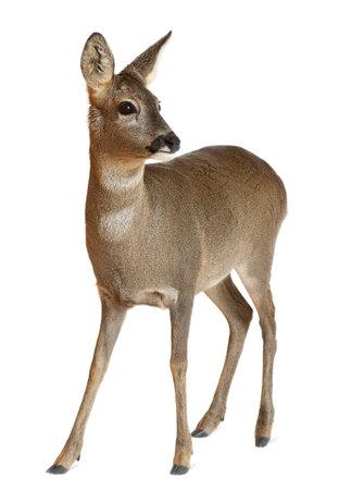 doe: European Roe Deer, Capreolus capreolus, 3 years old, standing against white background