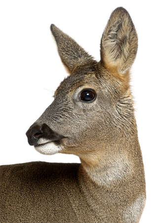 capreolus: European Roe Deer, Capreolus capreolus, 3 years old, against white background Stock Photo