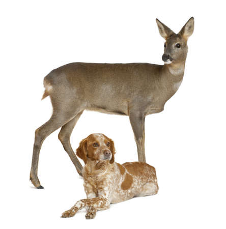 domestic animals: European Roe Deer, Capreolus capreolus, 3 years old, standing with dog lying against white background