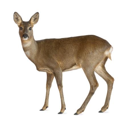 deer stand: European Roe Deer, Capreolus capreolus, 3 years old, standing against white background