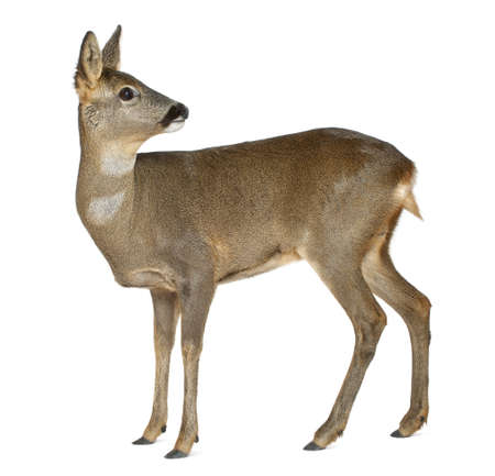 capreolus: European Roe Deer, Capreolus capreolus, 3 years old, standing against white background