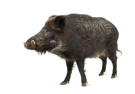 pig out: Wild boar, also wild pig, Sus scrofa, 15 years old, standing against white background Stock Photo