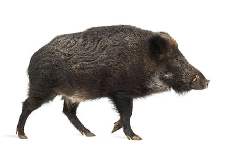 scrofa: Wild boar, also wild pig, Sus scrofa, 15 years old, against white background