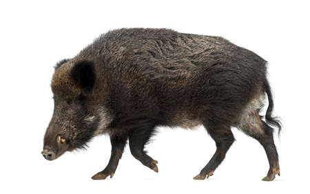 sus: Wild boar, also wild pig, Sus scrofa, 15 years old, against white background