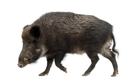 eber: Wildschwein, auch Wildschwein, Sus scrofa, 15 Jahre alt, vor wei�em Hintergrund