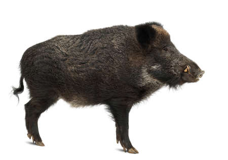 Wild boar, also wild pig, Sus scrofa, 15 years old, standing against white background photo
