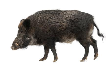 jabali: Jabal�, tambi�n cerdo salvaje, Sus scrofa, 15 a�os de edad, sobre fondo blanco