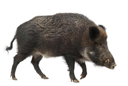 sanglier: Le sanglier, aussi cochon sauvage, Sus scrofa, 15 ans, contre un fond blanc