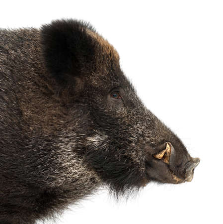 scrofa: Wild boar, also wild pig, Sus scrofa, 15 years old, portrait and close up against white background Stock Photo