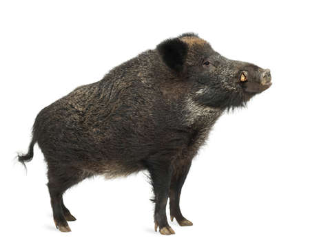 sus: Wild boar, also wild pig, Sus scrofa, 15 years old, standing against white background Stock Photo