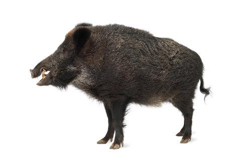 sanglier: Le sanglier, aussi cochon sauvage, Sus scrofa, 15 ans, debout contre un fond blanc Banque d'images