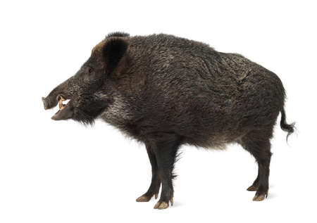 boar: Wild boar, also wild pig, Sus scrofa, 15 years old, standing against white background Stock Photo