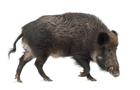jabali: El jabalí, también cerdo salvaje, Sus scrofa, de 15 años, contra el fondo blanco