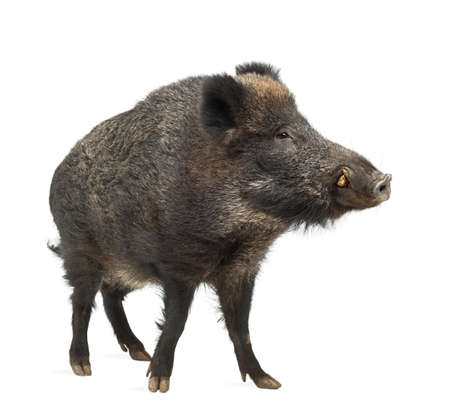 hog: Wild boar, also wild pig, Sus scrofa, 15 years old, standing against white background Stock Photo