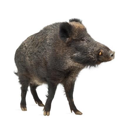 eber: Wildschwein, auch Wildschwein, Sus scrofa, 15 Jahre alt, stand vor weißem Hintergrund