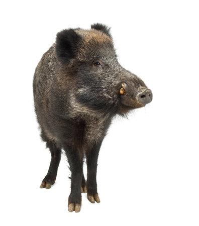 jabali: El jabalí, también cerdo salvaje, Sus scrofa, de 15 años, de pie contra el fondo blanco Foto de archivo