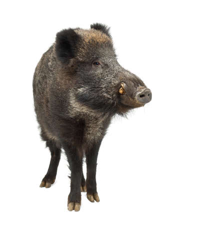 Wild boar, also wild pig, Sus scrofa, 15 years old, standing against white background Stock Photo