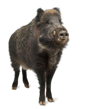 scrofa: Wild boar, also wild pig, Sus scrofa, 15 years old, standing against white background Stock Photo