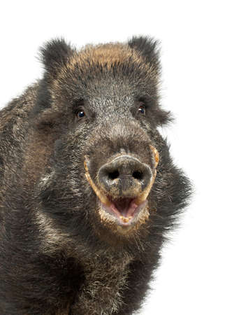 wild boar: Wild boar, also wild pig, Sus scrofa, 15 years old, portrait and close up against white background Stock Photo