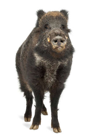 scrofa: Wild boar, also wild pig, Sus scrofa, 15 years old, portrait standing against white background