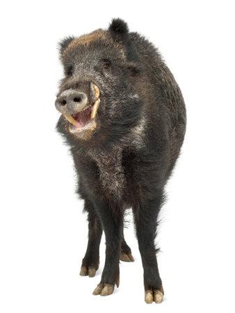sanglier: Le sanglier, aussi cochon sauvage, Sus scrofa, 15 ans, portrait en pied sur fond blanc