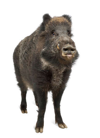pig out: Wild boar, also wild pig, Sus scrofa, 15 years old, portrait standing against white background