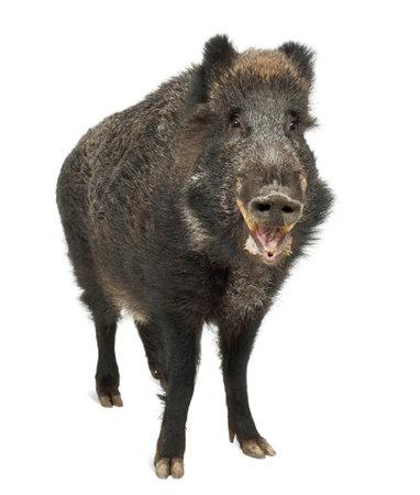 jabali: El jabal�, tambi�n cerdo salvaje, Sus scrofa, de 15 a�os, retrato de pie contra el fondo blanco
