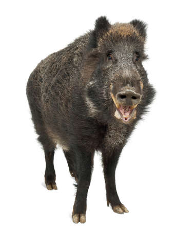 sus: Wild boar, also wild pig, Sus scrofa, 15 years old, portrait standing against white background