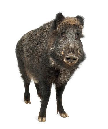 eber: Wildschwein, auch Wildschwein, Sus scrofa, 15 Jahre alt, Portrait stand vor weißem Hintergrund Lizenzfreie Bilder