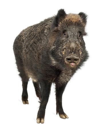 jabali: El jabalí, también cerdo salvaje, Sus scrofa, de 15 años, retrato de pie contra el fondo blanco