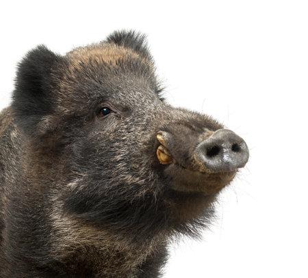 sanglier: Le sanglier, cochon sauvage aussi, Sus scrofa, 15 ans, près portrait sur fond blanc Banque d'images