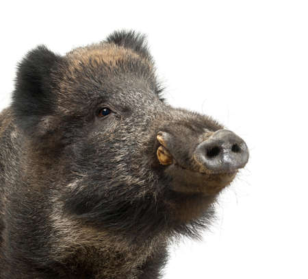 scrofa: Wild boar, also wild pig, Sus scrofa, 15 years old, close up portrait against white background