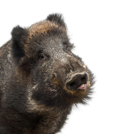 sus: Wild boar, also wild pig, Sus scrofa, 15 years old, portrait and close up against white background Stock Photo
