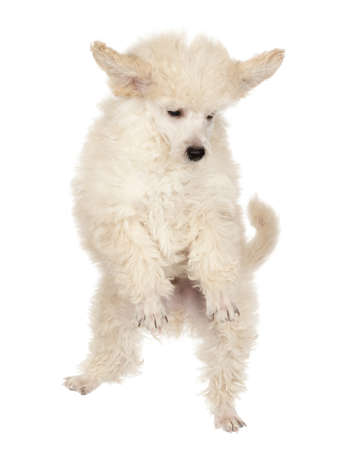 midair: Flying Poodle puppy against white background
