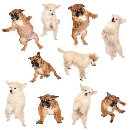 composite image: Flying Boxer and Poodle puppies against white background