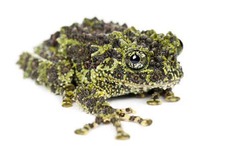 amphibian: Mossy Frog, Theloderma corticale, also known as a Vietnamese Mossy Frog, or Tonkin Bug-eyed Frog, portrait against white background