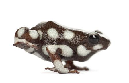 poison frog: Rana o venenosa Rana, Ranitomeya mysteriosus, in piedi su sfondo bianco