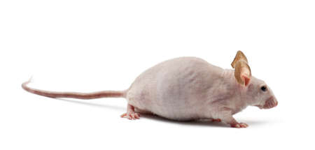 musculus: Hairless mouse, Mus musculus, against white background Stock Photo
