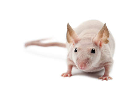 musculus: Hairless mouse, Mus musculus, portrait against white background Stock Photo