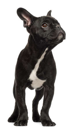black dog: French bulldog puppy, 5 months old, standing against white background