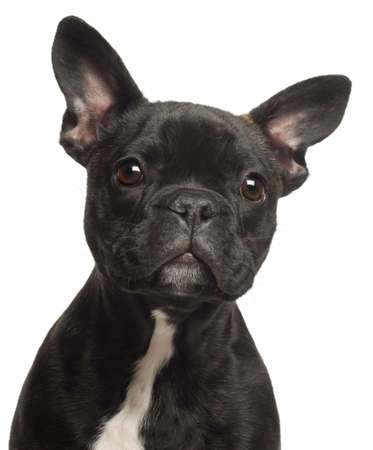 French bulldog puppy, 5 months old, portrait and close up against white background photo