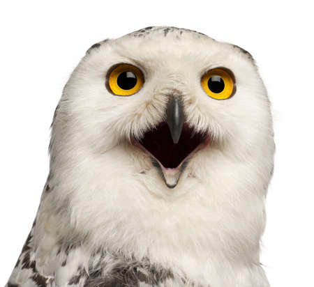 alertness: Female Snowy Owl, Bubo scandiacus, 1 year old, portrait and close up against white background
