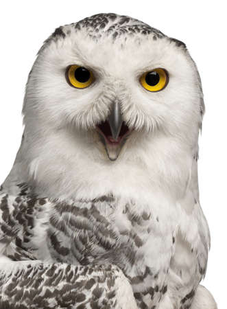 snowy owl: Female Snowy Owl, Bubo scandiacus, 1 year old, portrait and close up against white background