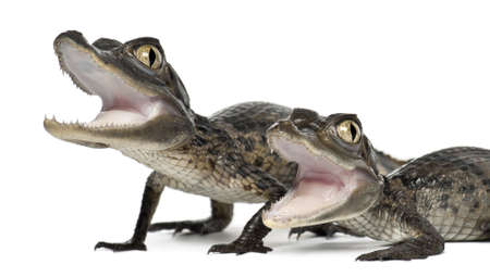 Spectacled Caimans, Caiman crocodilus, also known as a the White Caiman or Common Caiman, 2 months old, close up against white background photo