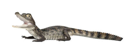 caiman: Spectacled Caiman, Caiman crocodilus, also known as a the White Caiman or Common Caiman, 2 months old, against white background Stock Photo
