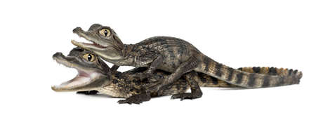 caiman: Spectacled Caimans, Caiman crocodilus, also known as a the White Caiman or Common Caiman, 2 months old, against white background